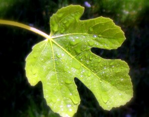 the_fig_leaf